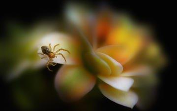 макро, насекомое, цветок, лепестки, размытость, паук, паучок, antonio amati