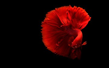 black background, fish, tail, underwater world, cock