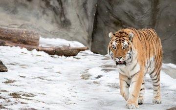tiger, face, snow, look, predator, wild cat, amur