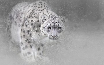 face, snow, winter, fog, look, black and white, predator, snow leopard, wild cat, snowfall