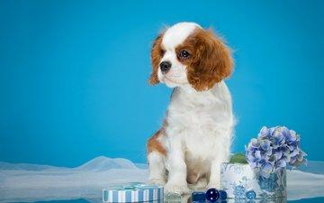 цветы, фон, мордочка, взгляд, собака, щенок, спаниель, кавалер-кинг-чарльз-спаниель
