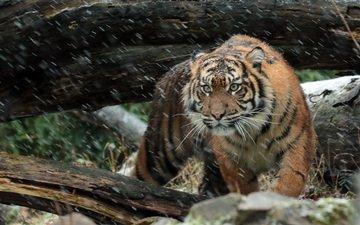тигр, морда, взгляд, хищник, дикая кошка, суматранский