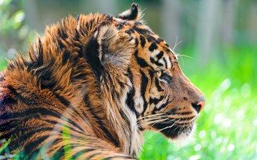 тигр, морда, взгляд, хищник, профиль, дикая кошка, суматранский