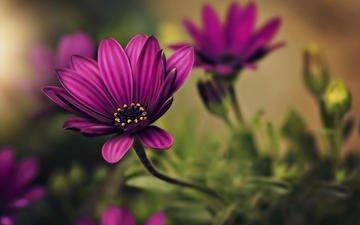 цветы, лепестки, размытость, dina telhami, остеоспермум