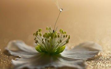 макро, цветок, капля, лепестки, пушинка, анемон, johannes dörrstock