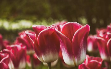 flowers, buds, petals, spring, tulips
