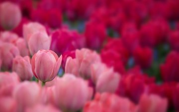 flowers, buds, petals, blur, spring, tulips