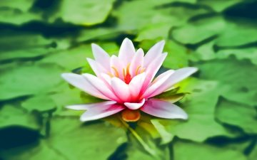 leaves, flower, petals, pond, lily, water lily
