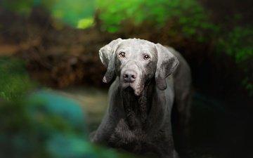 мордочка, взгляд, собака, размытость, веймаранер
