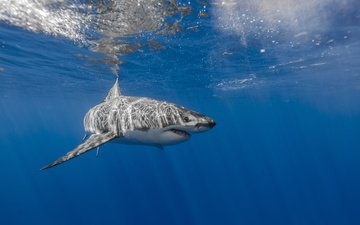 sea, shark, underwater world, white shark