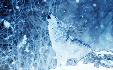 snow, nature, forest, winter, wolf, howl, snowfall