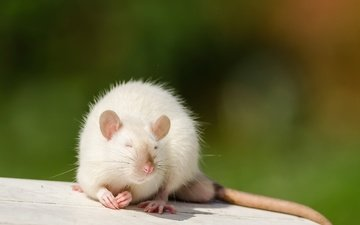 nature, background, mouse, animal, rat