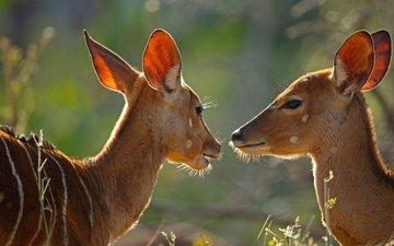 африка, юар, антилопа, национальный парк крюгера, антилопы, самка, ньяла
