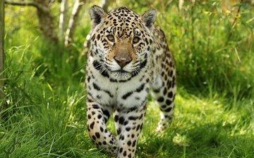 face, grass, look, predator, jaguar, wild cat