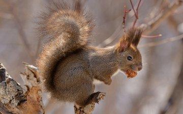 japan, tail, walnut, hokkaido, squirrel, rodent