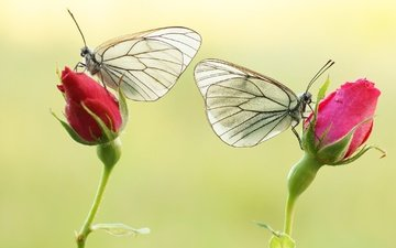 flowers, buds, roses, wings, insects, butterfly