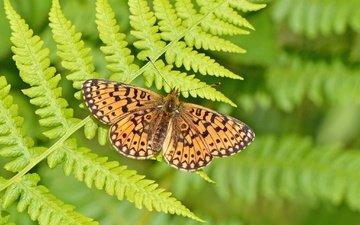 насекомое, бабочка, крылья, папоротник, боке, шашечница