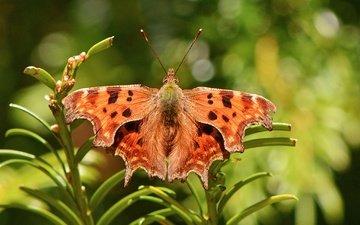 растения, насекомое, бабочка, крылья, боке, нимфалида, polygonia comma