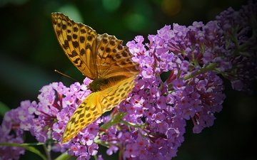 insect, butterfly, wings, flowers