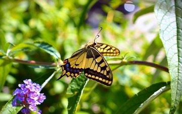 цветы, растения, макро, насекомое, бабочка, крылья, размытость, весна