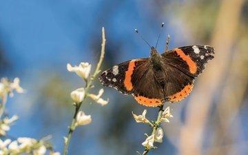 цветы, насекомое, бабочка, крылья, боке, адмирал, нимфалида