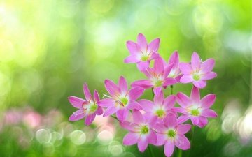 glare, pink flowers, bokeh, zephyranthes