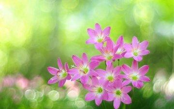 блики, розовые цветы, боке, зефирантес