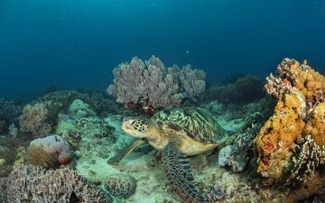 sea, turtle, underwater world, coral reef