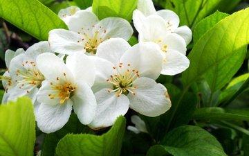 цветение, листья, лепестки, весна, яблоня