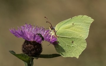 insect, flower, butterfly, wings, brimstones, the limonite