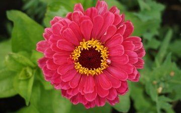 leaves, flower, petals, zinnia