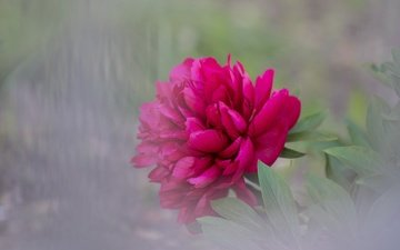 листья, цветок, лепестки, размытость, пион