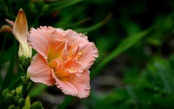 flower, petals, bokeh, daylilies