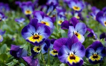 цветы, анютины глазки, фиалки, виола, фиалка трёхцветная