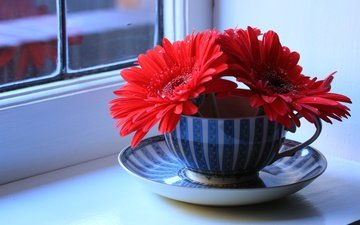 flowers, saucer, window, cup, gerbera, still life, sill