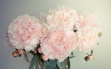 цветы, бутоны, лепестки, букет, пионы