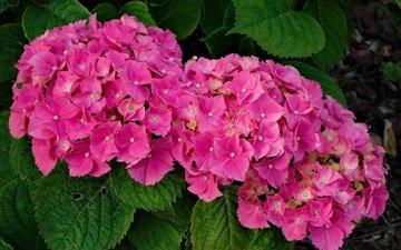 цветы, цветение, цвет, розовые, куст, гортензия