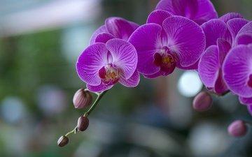 цветы, цветение, орхидеи, цветы, фаленопсис