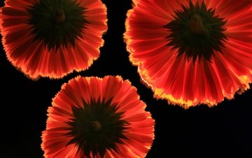 flowers, background, petals, red, black background, gerbera