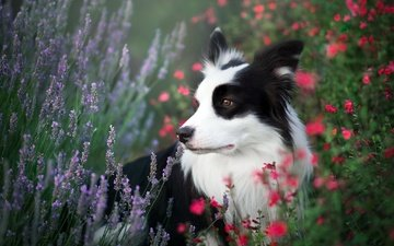 flowers, nature, field, summer, dog, grass, the border collie