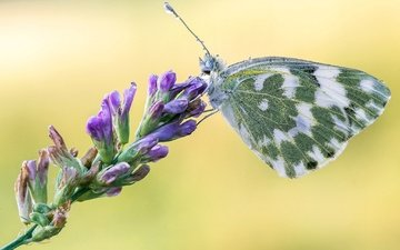 flowers, macro, insect, butterfly, wings, belyanka