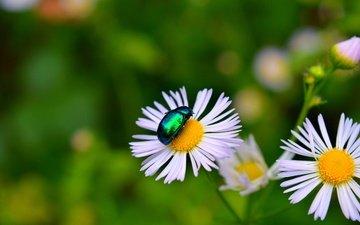 flowers, beetle, macro, insect, petals, bokeh
