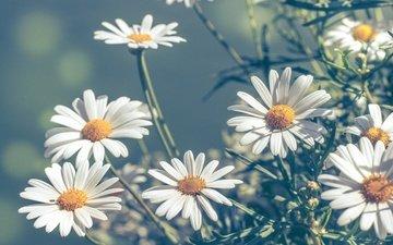 цветы, макро, лепестки, размытость, ромашки, боке