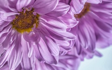 flowers, macro, petals, chrysanthemum, dashakern
