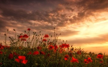 flowers, clouds, field, red, maki, meadow