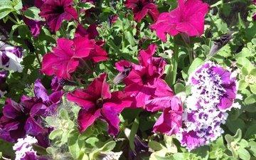 flowers, leaves, petals, petunias