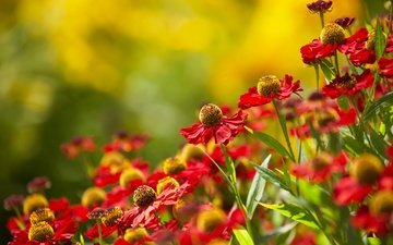 flowers, nature, plants, summer, gelenium, red flowers
