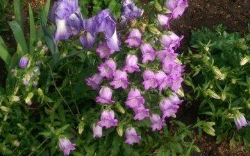 flowers, nature, summer, bells