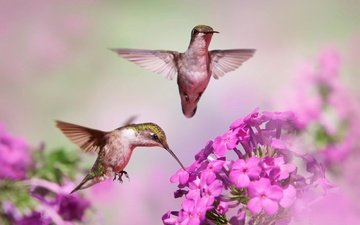 flowers, flight, blur, birds, beak, pair, hummingbird, bokeh