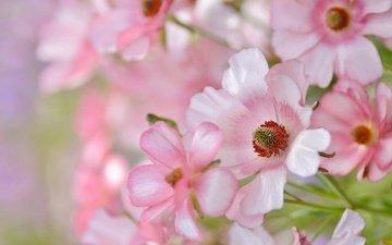 flowers, petals, pink, tenderness